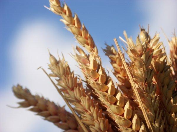 Grain de bl qui tombe en terre feu bienheureuse m re t r sa - Porte sur le feu et jete dedans ...